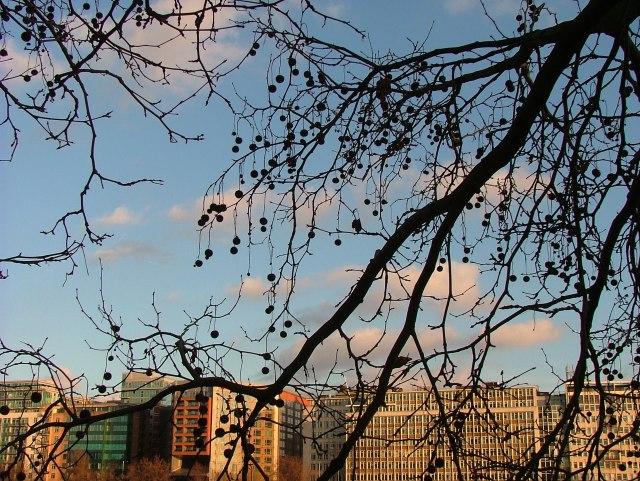 London Plane Tree (1)