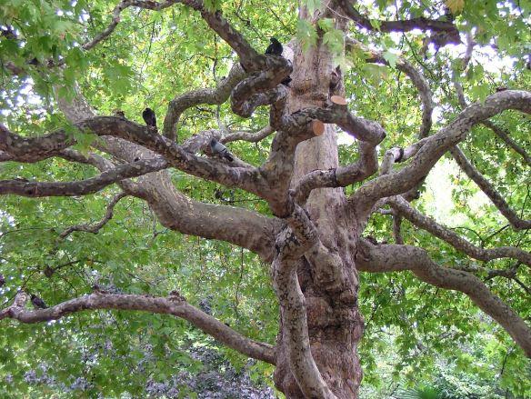 London Plane Tree (3)