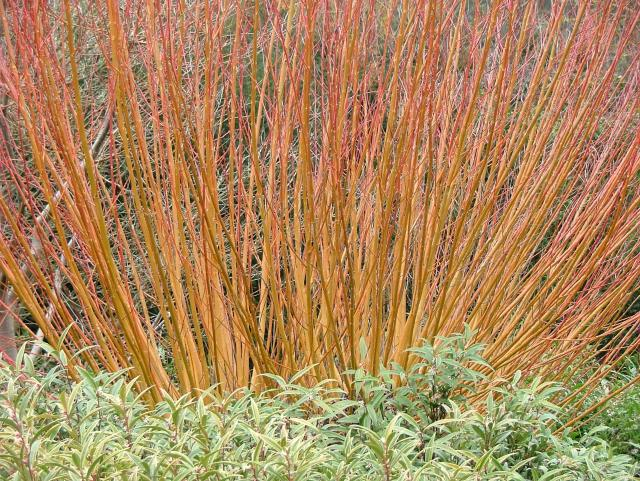 Orange dogwood with sarcococca
