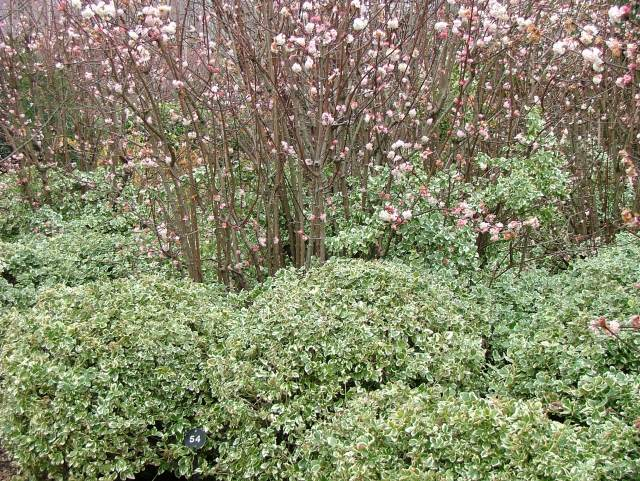 Viburnum blossom and Euonymus