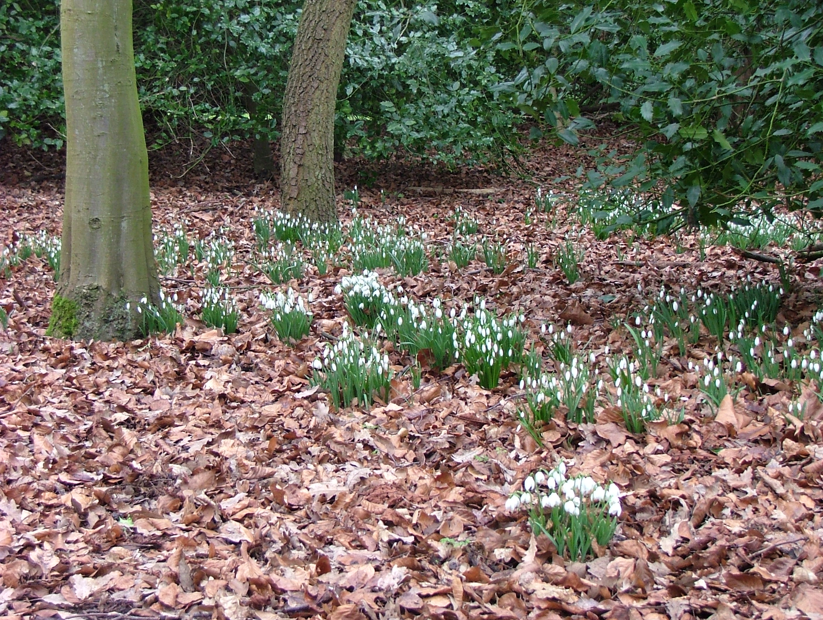 anglesey abbey snowdrops and stems away from the drawing board