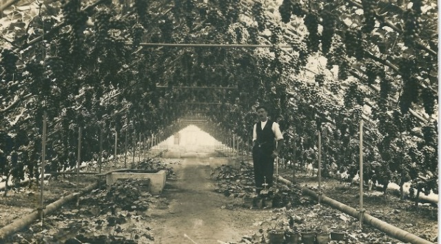 Fullers-vineries-at-Lancing-c.-1910-from-a-postcard-672x372